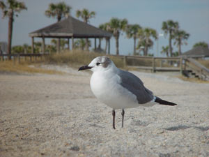 Photo of a seagull on the beach at Amelia Island, FL
