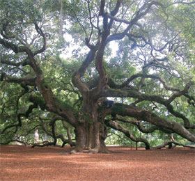The Angel Oak in Johns Island, South Carolina